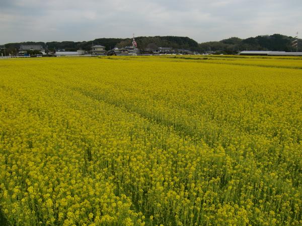 勘違いにもメゲず、古賀市「なの花祭り」に行ってきた