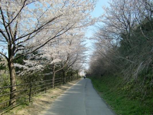 瀬板の森と金山川の豪華な桜並木を初めて愛でる【ウォーキング折尾編】