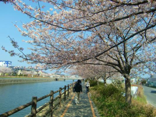 入学式シーズン、各地の桜は新入生を何分咲きで迎えてくれるのか?