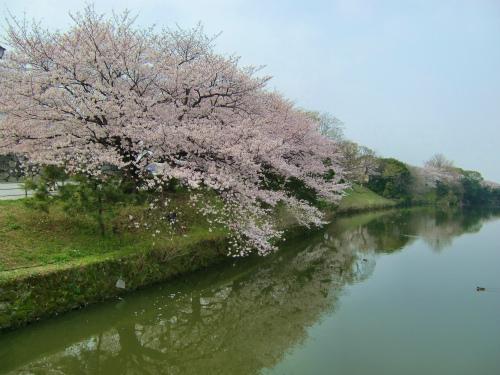 ウォーク博多編:舞鶴公園の桜がほぼ満開で見頃になってた