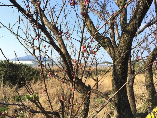 大根川沿いの桜