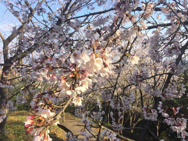 大将陣公園の桜