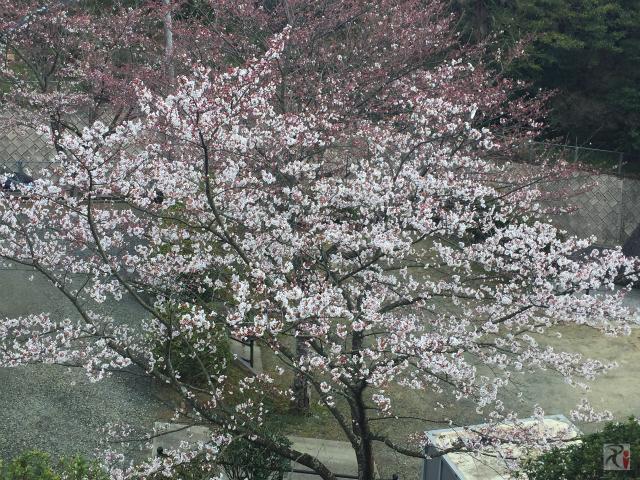 寿命公園の桜