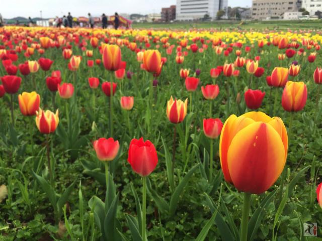過去最強、春の直方は街中が美しい花々で彩られていた【Walk直方】