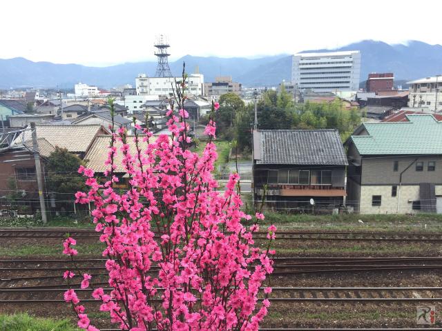 直方市街地と桃の花