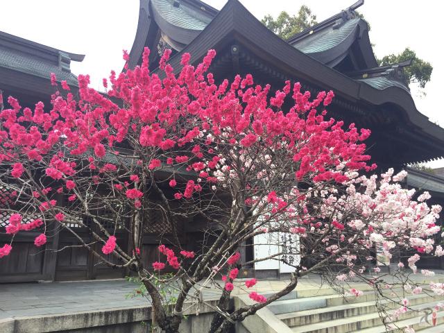 多賀神社と桃の花