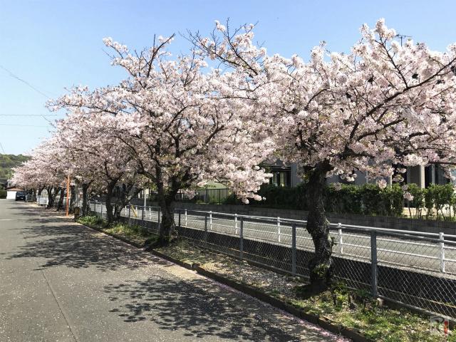 初心の桜、自分を映し省みる場所