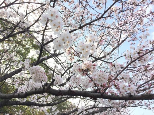 飯塚・勝盛公園の桜は隣接した山の上も感動的に綺麗なのである【Walk浦田】