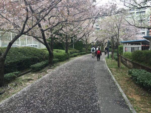 香椎の街に舞い散る桜街道の美しさがハンパない【Walk千早編】