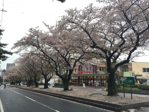 前田さくら祭り、今年も天候に恵まれず桜散る【ウォーク黒崎編】
