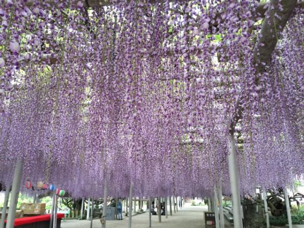 北九州・吉祥寺の巨大藤棚はゴールデンウィークの風物詩