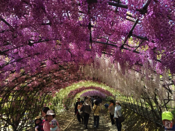 世界が認めた絶景!河内藤園の藤トンネルと巨大藤棚は超必見!