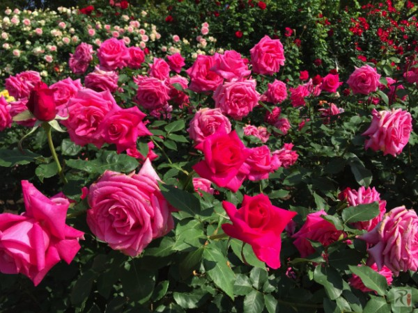 [Я]2年ぶりの駕与丁公園、今年のバラも美しかった【Walk長者原編】