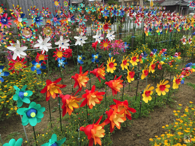 遠賀川のコスモス畑とペットボトル花の風車、どちらもキレイだった【Walk水巻】
