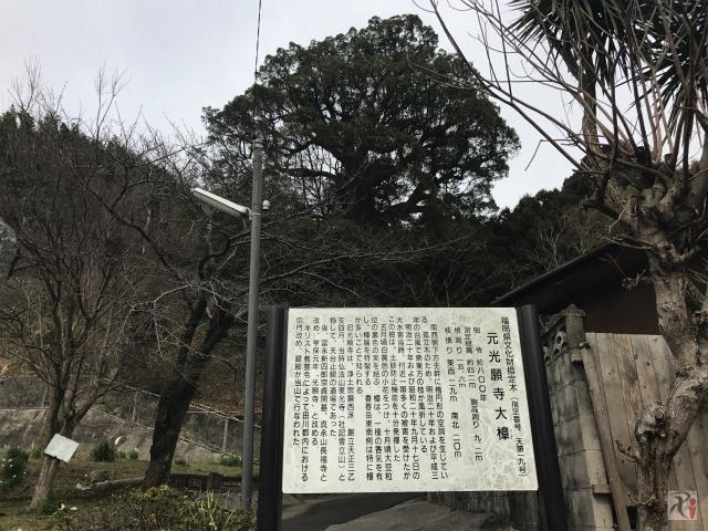 元光願寺大樟