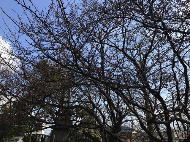 大橋神社の桜