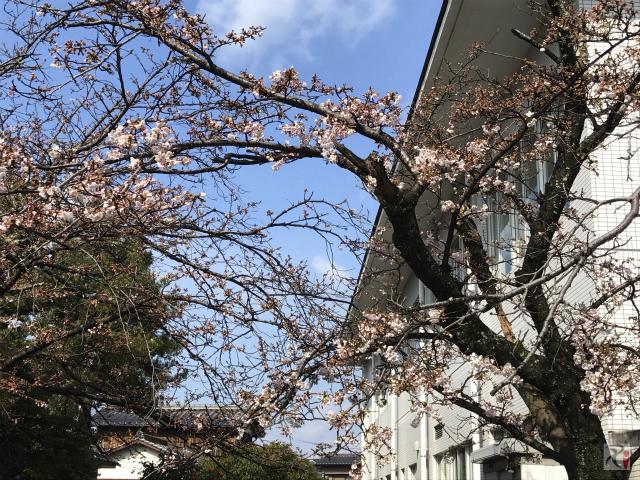 行橋市中央公民館の桜