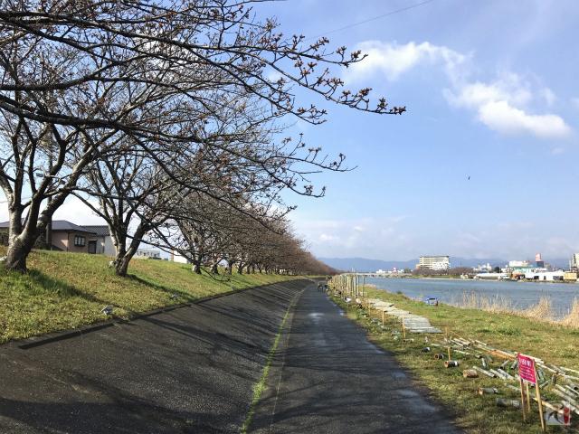 今川河川敷の桜