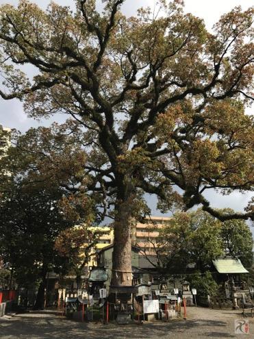 正八幡宮の御神木