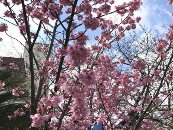 行橋で桜を巡る散策、しかし桜は開花が遅れ天候も降ったり晴れたり【Walk行橋】