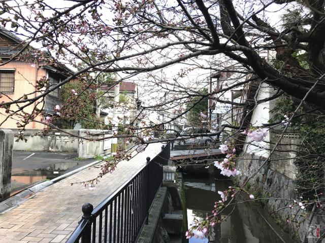 舟路川沿いの桜