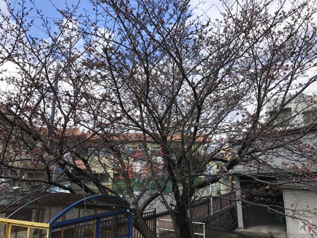 行橋保育園前の桜