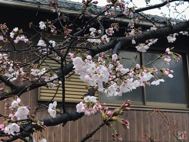 禅興寺の桜