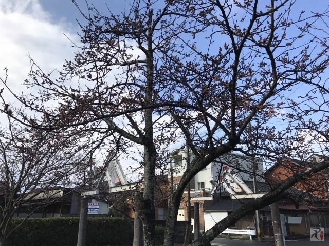 大橋公園の桜