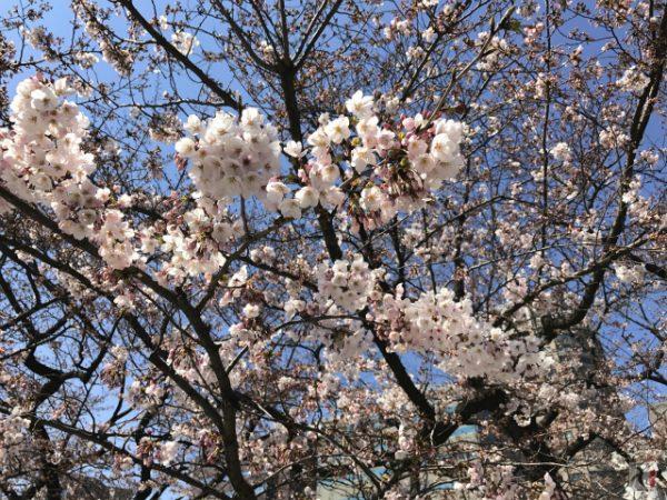 福岡市の桜名所・舞鶴公園の開花具合をチェック散策