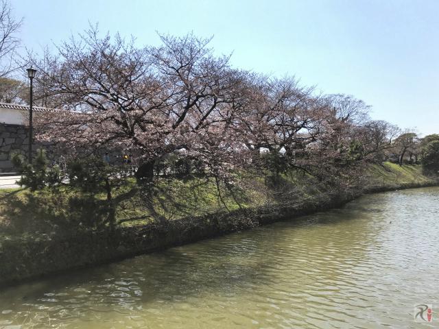 舞鶴公園の桜