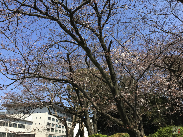 鴻臚館広場の桜