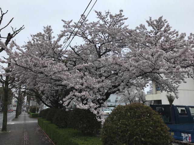 飯塚市役所駐車場の桜