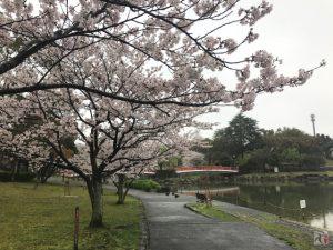 いよいよ九分咲き!雨の飯塚・勝盛公園に無数の桜が咲き乱れる【Walk浦田】