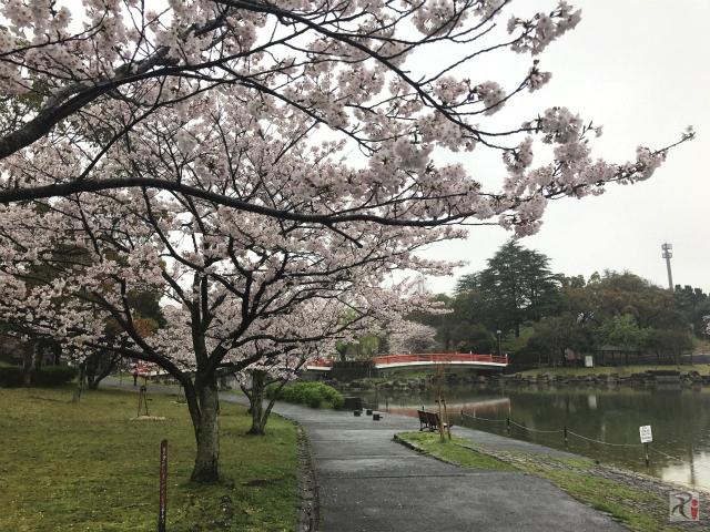 行橋桜巡り、しかし桜は開花が遅れ天候も乱高下【行橋ウォーク】