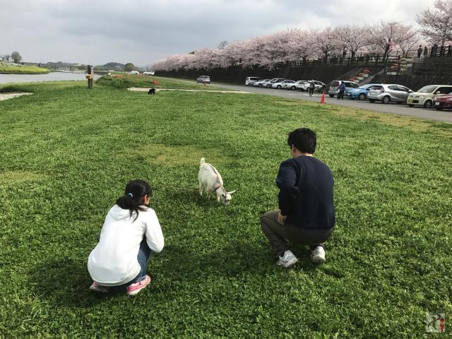 遠賀川河川敷のヤギ