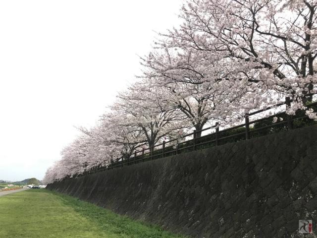 遠賀川河川敷の桜