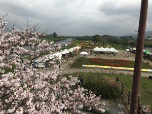 のおがたチューリップフェア、桜は見事に満開、そして牛は逃走【Walk直方】
