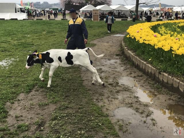のおがたチューリップフェア会場の牛