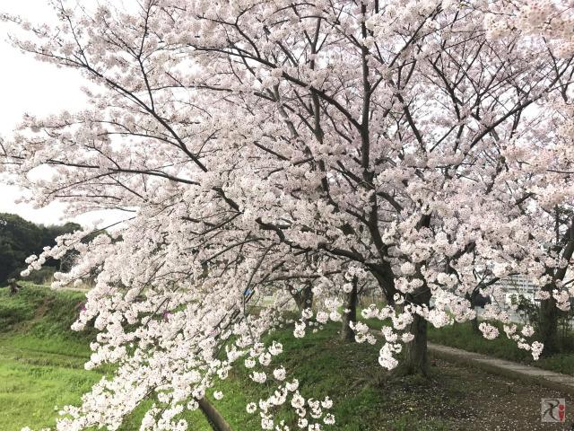 もち吉本社工場前の桜