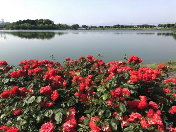 2年ぶりの粕屋町バラまつり、麗しの薔薇は開花が少し遅れ気味ながらも鮮やか【Walk長者原】