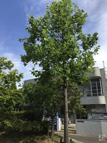 チューリップツリー