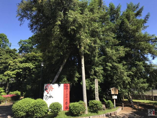 天然記念物カヤの木