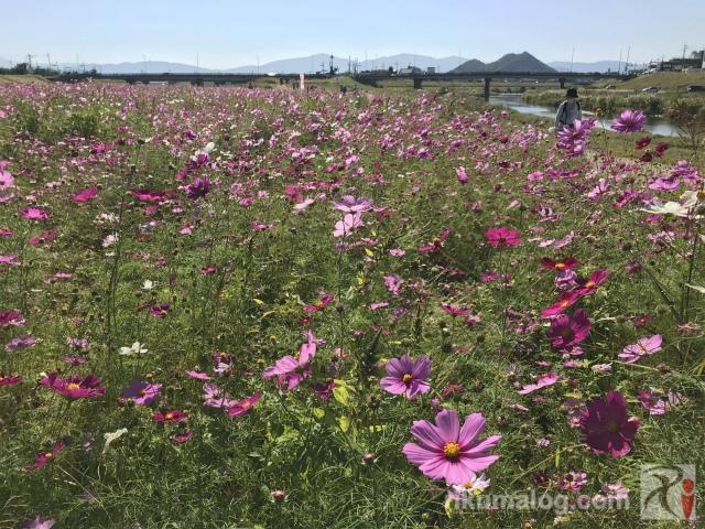 遠賀川中之島のコスモス